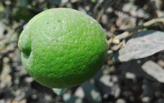 Een citroen plant kopen